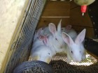 Продам кролі Термонської породи. Кролики термонці. Термони