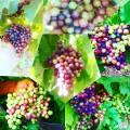 ƒомашнее натуральное вино из столовых сортов винограда