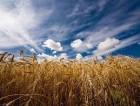 Куплю фураж пшеницы в Житомирской области.