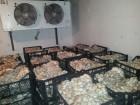 вешенка от производителя обьем от 300 кг/д возможна доставка