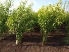 Саженцы персика 100% сортности