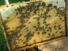 Продам 150 пчелопакетов с собственной пасеки 1300гр