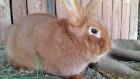 Продам кроликов породы Новозеландский красный (НЗК)