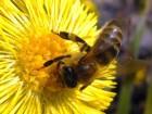 Куплю пчелосемьи, отводки крупным оптом