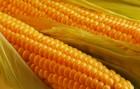 Закупаем кукурузу, ячмень, пшеницу с хозяйств по выгодным ценам. Само