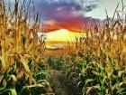 закупаем кукурузу от 40 тон