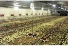 Охлаждение и вентиляция птицеферм