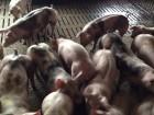 Свині 150 кг за 4 місяці БМВД Biorin Добавки для свиней від виробника