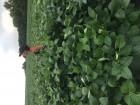 Продам семена сои не ГМО Элита
