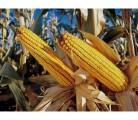Продам семена кукурузы ВН 6763