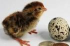 Перепелиные инкубационные яйца пород: техасец, фараон, манжур
