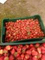 Продам полуниці ягода