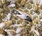 Ќе плодные пчелиные матки
