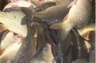 Продам живую рыбу: Щука, белый амур, карп. толстолоб.