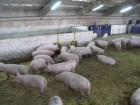 закупаю дорого свиней самовывоз