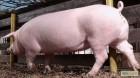 продам свиней живым весом крупным оптом