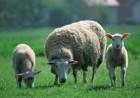 куплю овцы ягнята