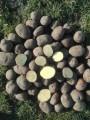 Продам картоплю сорт Беллароса