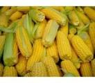 Семена кукурузы гибрид Новий (Новый)