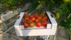 Продам помидор на ветке. Турция
