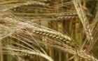 Закупаем зерновые (пшеница, ячмень,)