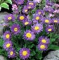 Семена аквилегии (водосбор), астры альпийской
