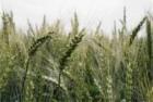 Чорнява (Первая репродукция) Пшеница озимая
