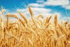 Продам озимую пшеницу