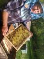Продам бджолопакети 300шт. і бджолосім'ї 100шт.