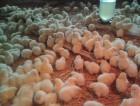 обменяю своих цыплят на ваше зерно