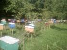 Бджоломатки карпатської породи тип вучківський - Превью изображения 2