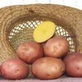 Картофель 5+ оптом от производителя 5 грн./кг.