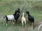 Козы и козлята Ла-манча