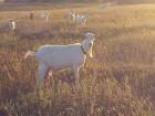 продам зааненских коз. И козла тоже.