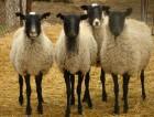овцы бараны романовской породы на экспорт