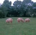 Закупаю свиней мясных и сальных дорого