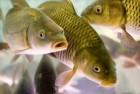 омбикорм дл¤ рыбы
