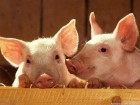 Комбикорм для свиней Финиш