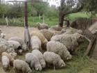 ѕродам белых ¤рых овец 35гр жывым весом