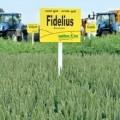 Пшеница Фиделиус от Saatbau 1 репродукция