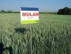 Пшеница Мулан от Saaten-Union 1 репродукция