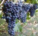 Куплю виноград винних сортів  лівадійський чорний, гурзуфський - Превью изображения 1