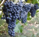 уплю виноград винних сорт≥в  л≥вад≥йський чорний, гурзуфський