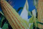 Оржица 237 МВ гибрид кукурузы