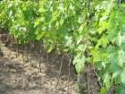 Продам привитые саженцы винограда