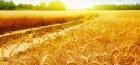 Закупаю Пшеницу 2-6 кл