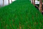Продам лук перо зеленый оптом. Выращен в собственной теплице