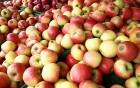 «акупаем яблоки, √рушу, слыву, бузыну