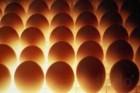 Инкубационное яйцо. Польша