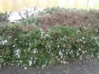 Саженцы, рассада  малины ( открытый корень ) Есть разные сорта
